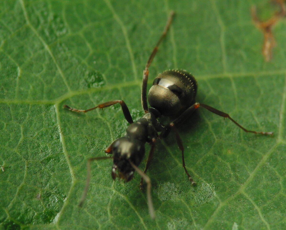 Formicidae-2775.jpg