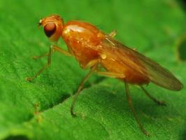 Psilidae · šakniamusė