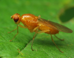 Psilidae · šakniamusės