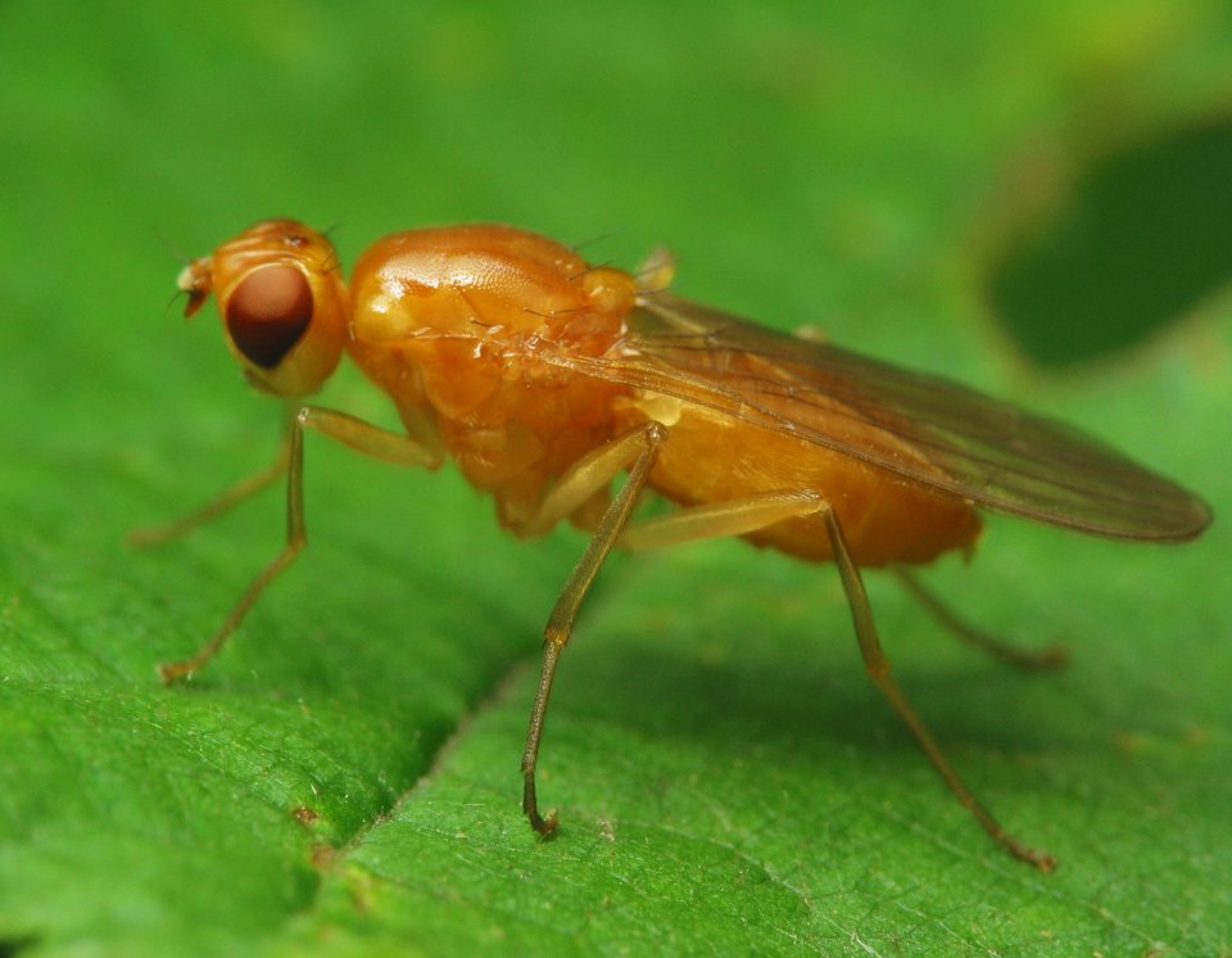 Psilidae-2777.jpg