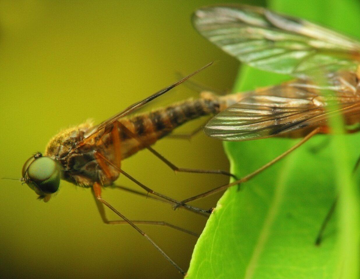 Rhagionidae-2787.jpg