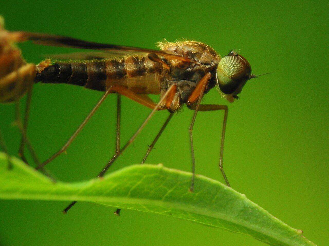 Rhagionidae-2789.jpg