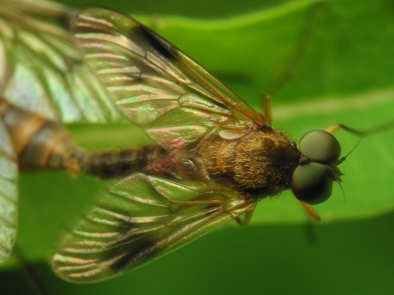 Rhagionidae-2791.jpg
