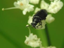 Dasytes niger · juodasis pievavabalis