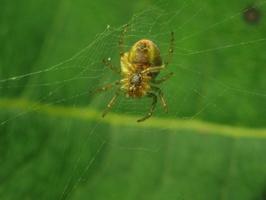 Araniella cucurbitina · raudondėmis voriukas