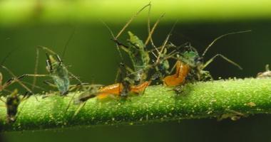 Aphidoidea · amarai