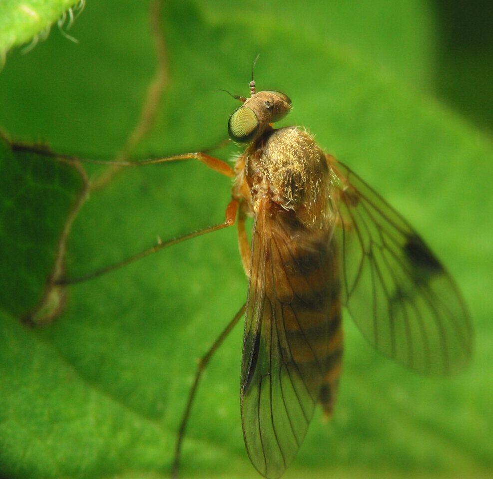 Rhagionidae-2852.jpg