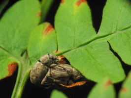 Strophosoma capitatum · šeriuotasis straubliukas