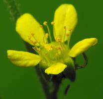 Ranunculus sp. 2871