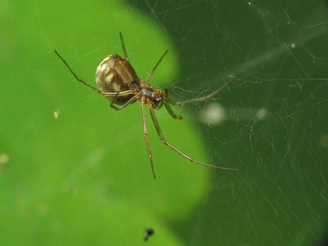 Theridiidae-2897.jpg