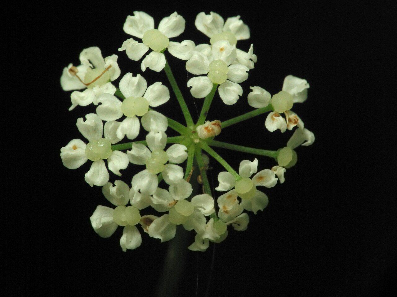 Apiaceae-2899.jpg