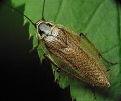 Ectobius sylvestris · miškinis prūsokas ♂
