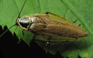 Ectobius sylvestris · miškinis prūsokas