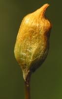 Bryophyta · samanūnai