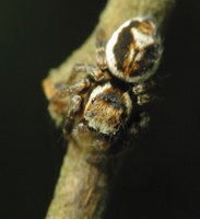 Evarcha falcata male · blizgantysis musėgaudis ♂