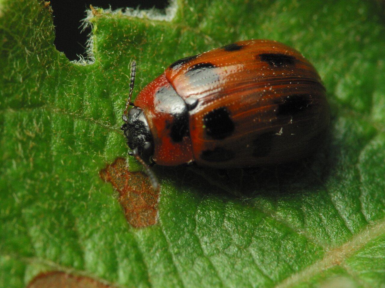 Gonioctena-viminalis-2953.jpg