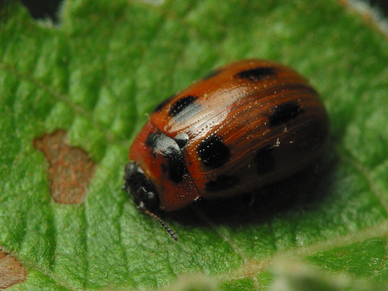 Gonioctena-viminalis-2954.jpg