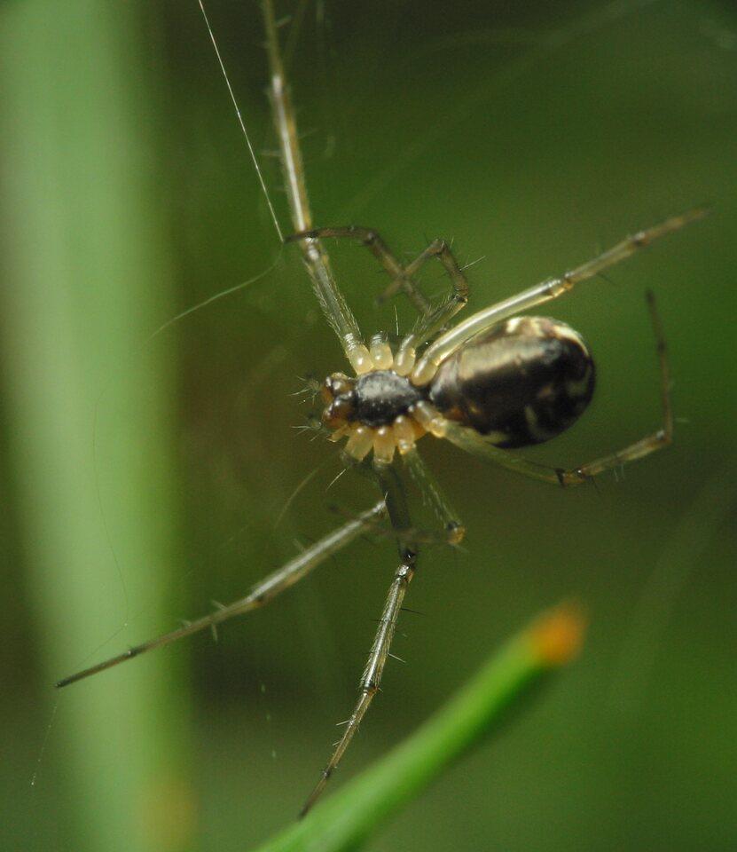 Theridiidae-2971.jpg