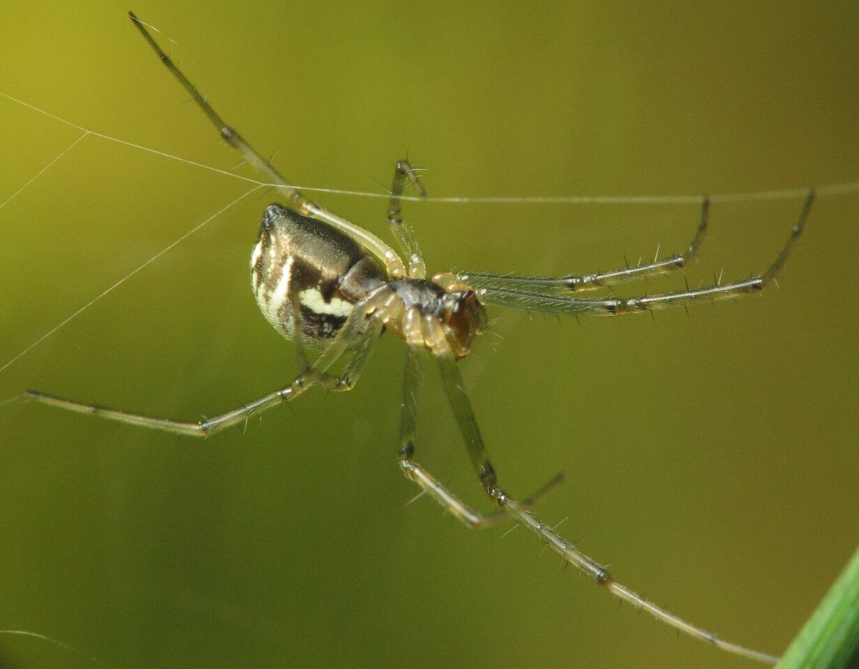 Theridiidae-2973.jpg