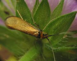 Nemophora metallica · buožaininė ilgaūsė makštinė kandis