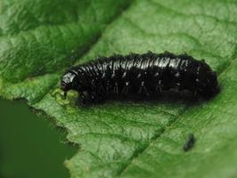 Agelastica alni larva · mėlynasis alksniagraužis, lerva