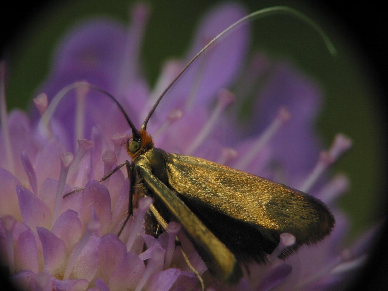 Nemophora-metallica-2999.jpg