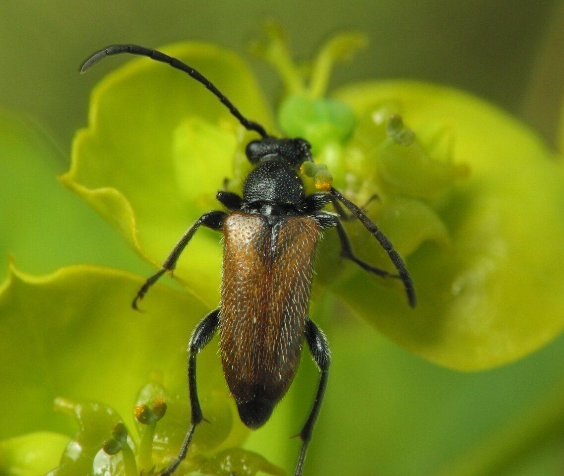 Anastrangalia-sanguinolenta-3025.jpg