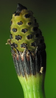 Equisetum hyemale · šiurkštusis asiūklis