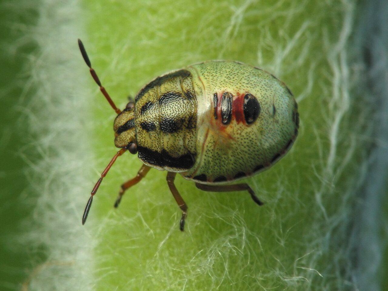 Heteroptera-nymph-3041.jpg