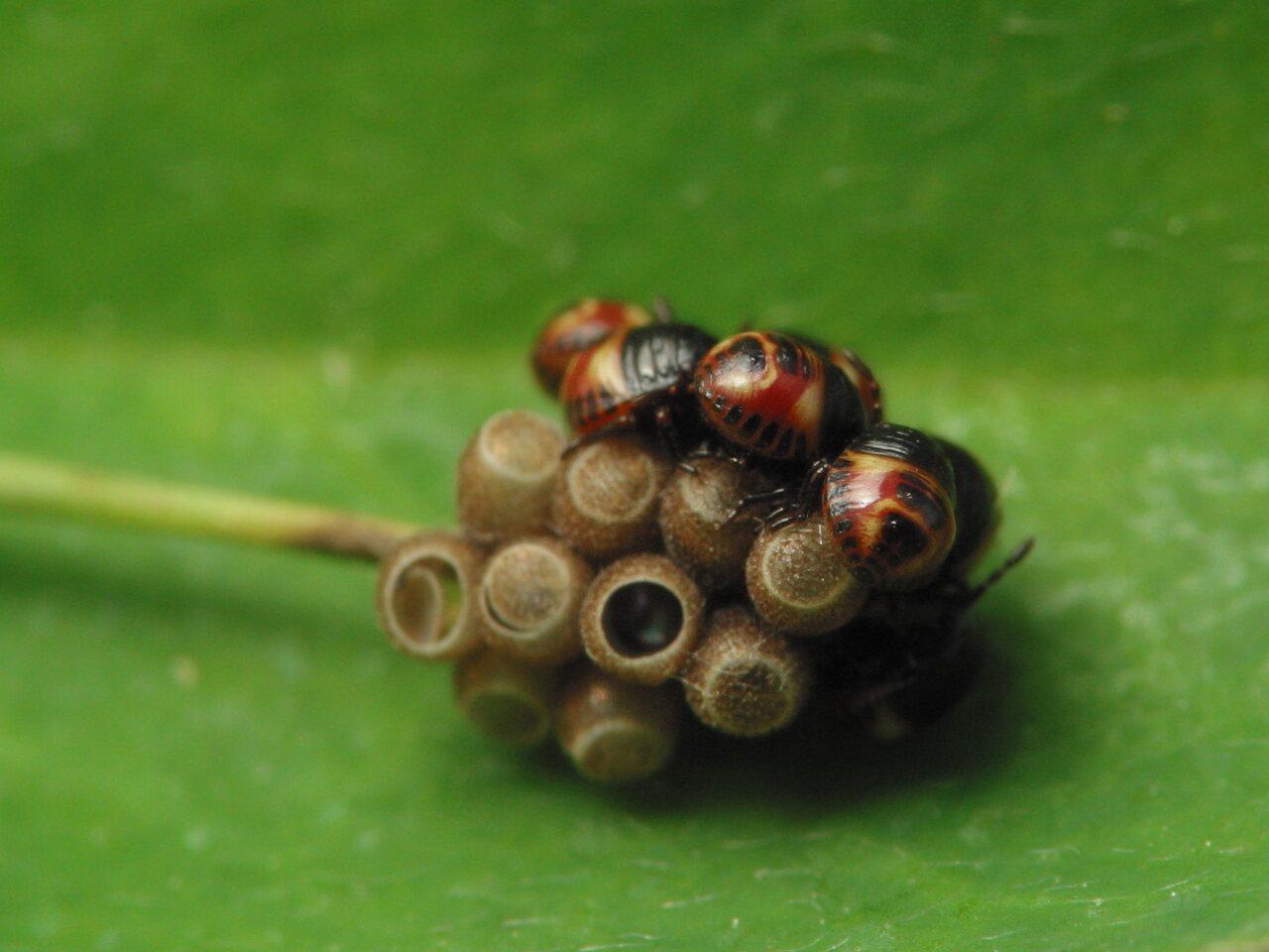 Carpocoris-pudicus-3051.jpg