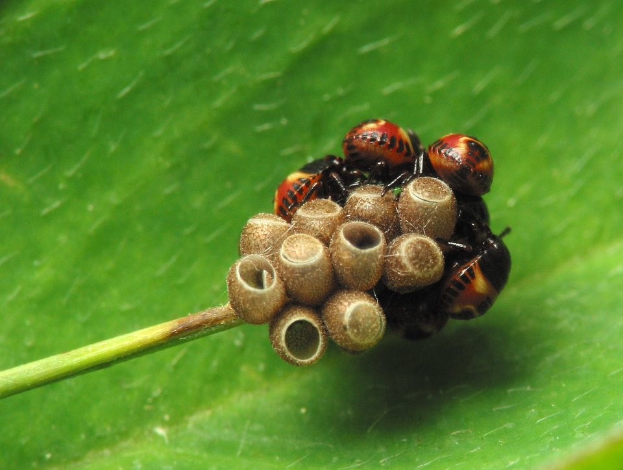 Carpocoris-pudicus-3052.jpg