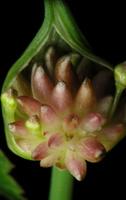 Allium oleraceum · laukinis česnakas