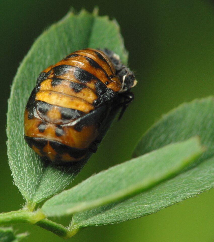 Coccinella-septempunctata-3068.jpg
