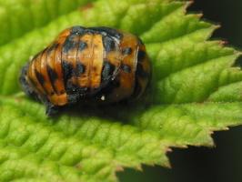Coccinella septempunctata pupa · septyntaškė boružė, lėliukė