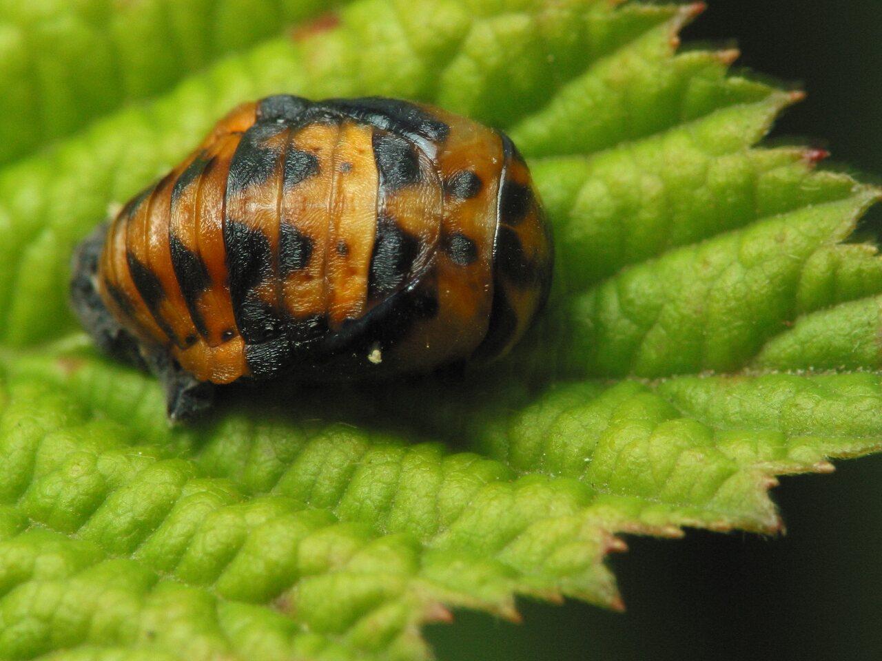 Coccinella-septempunctata-3072.jpg