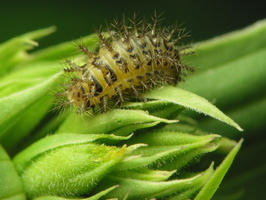Subcoccinella vigintiquatuorpunctata larva · dvidešimtketurtaškė boružė, lerva