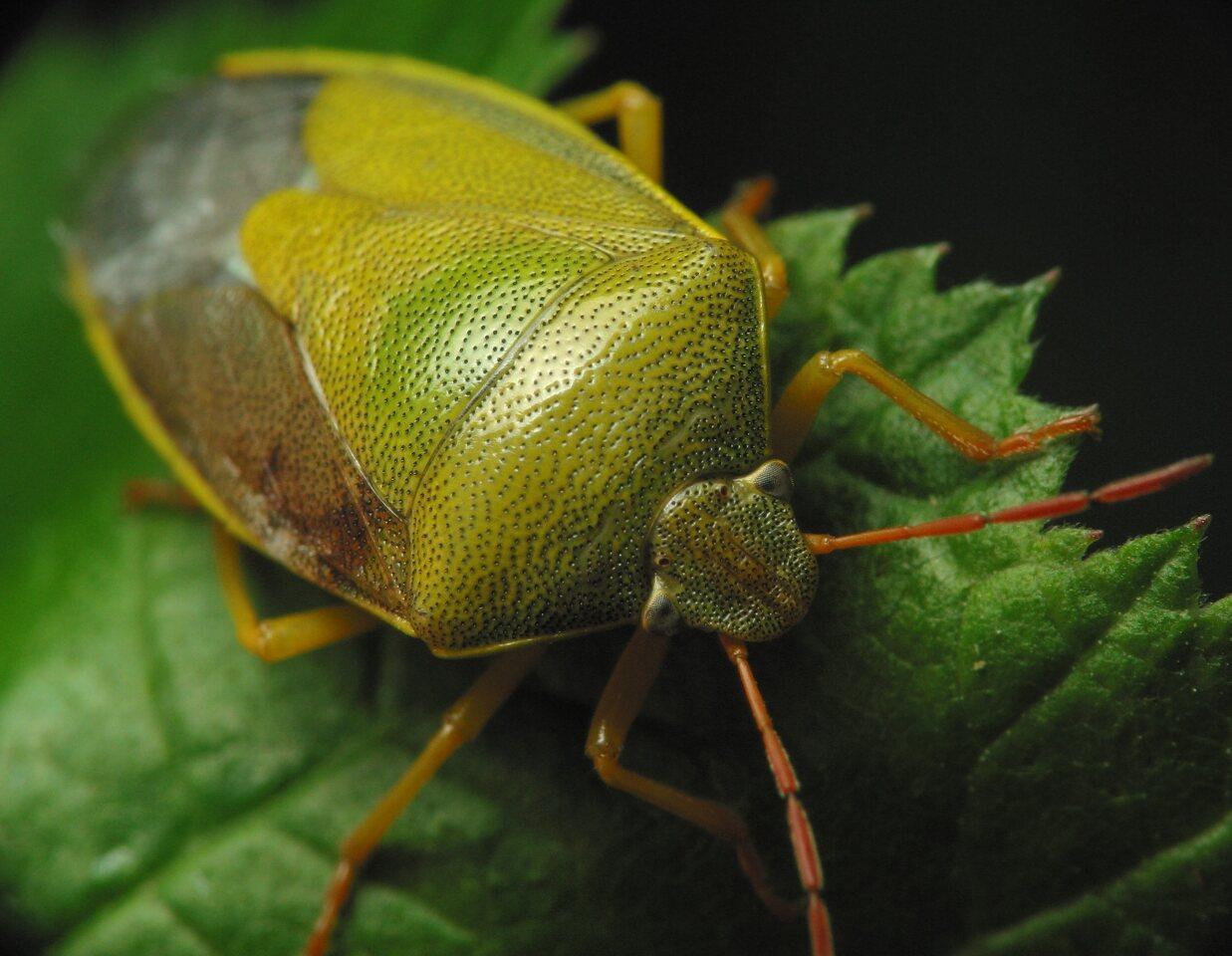 Piezodorus-lituratus-3080.jpg