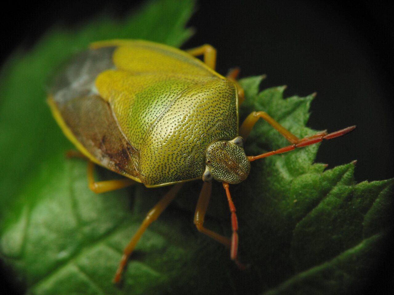 Piezodorus-lituratus-3081.jpg