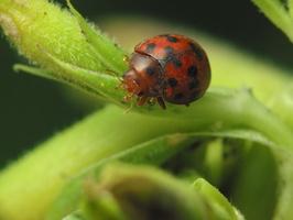 Subcoccinella vigintiquatuorpunctata · dvidešimt keturtaškė boružė