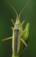 Notostira elongata adult male · skeltagalvė žolblakė ♂