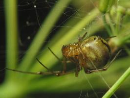 Phylloneta sisyphia · margasis kilpininkas