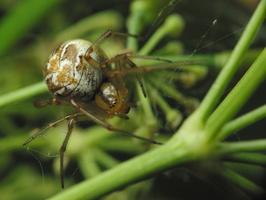 Phylloneta impressa · tamsiakraštis kilpininkas