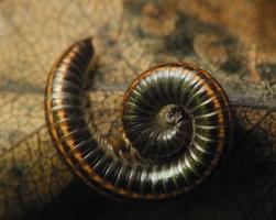 Ommatoiulus sabulosus · juodasis šimtakojis