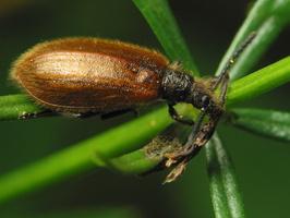 Lagria hirta · paprastasis gauravabalis