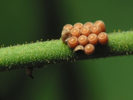 Heteroptera eggs 3113