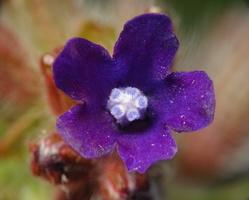 Anchusa officinalis · vaistinis godas