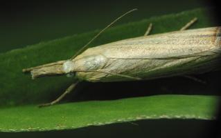 Chrysoteuchia culmella · juostuotasis žolinis ugniukas