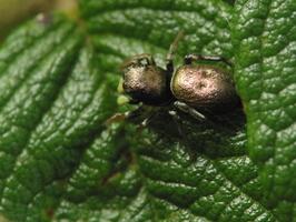 Heliophanus auratus, female · auksaspalvis žėrūnas ♀