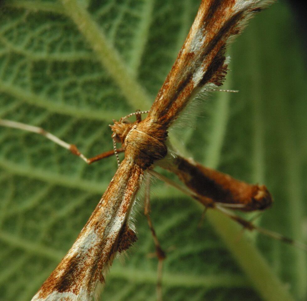 Cnaemidophorus-rhododactylus-3200.jpg
