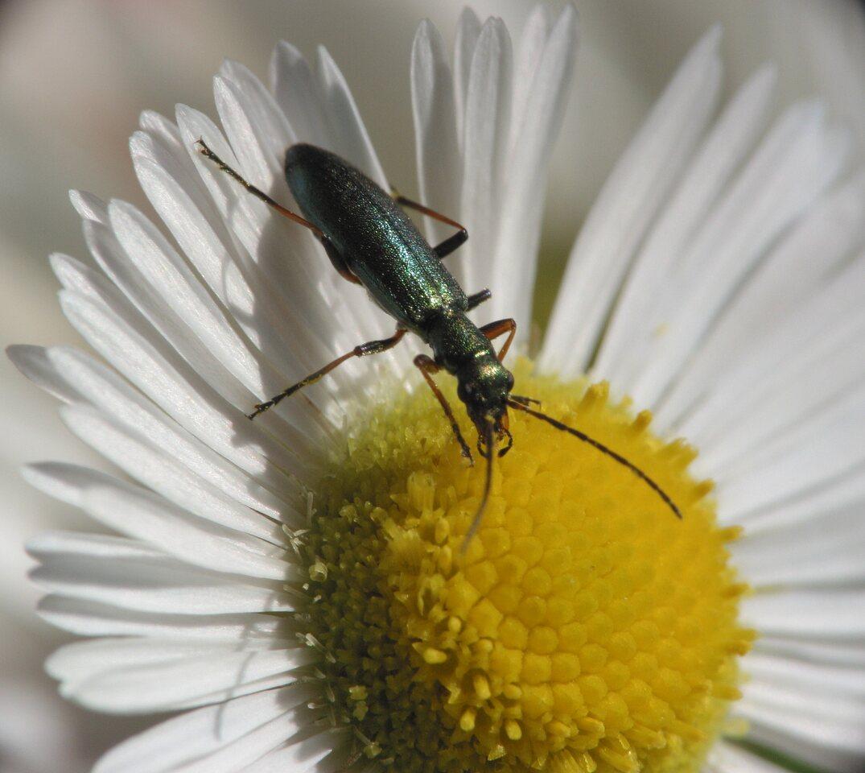 Chrysanthia-nigricornis-3212.jpg